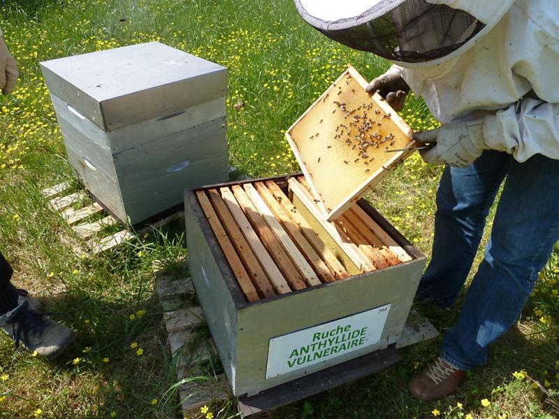 La ruche Anthyllide vulnéraire