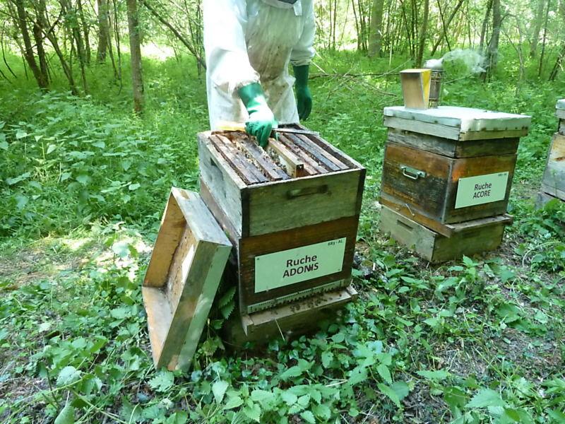 La ruche Adonis