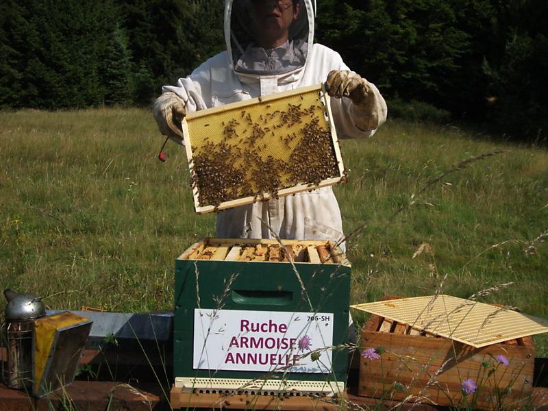 La ruche Armoise annuelle