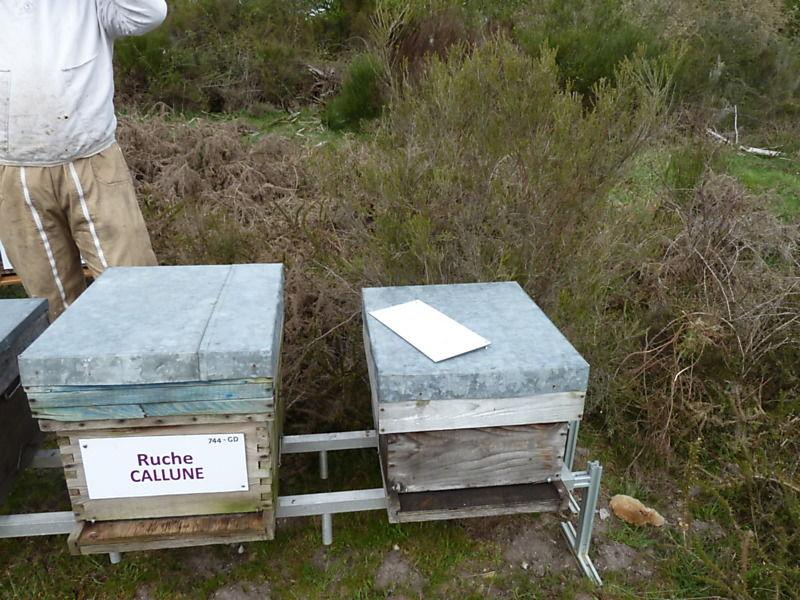 La ruche Callune
