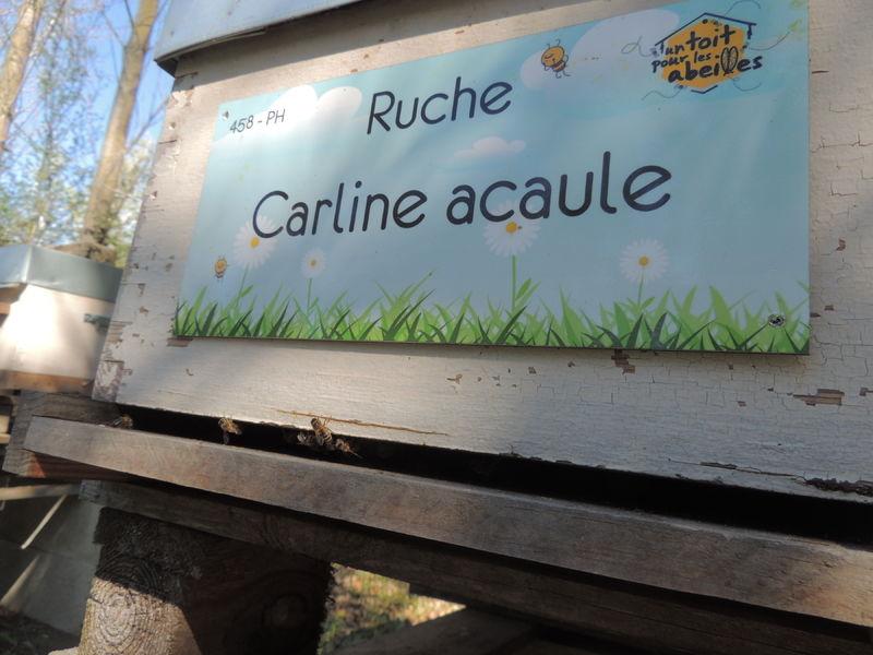 La ruche Carline acaule