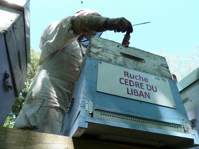 La ruche Cèdre du liban