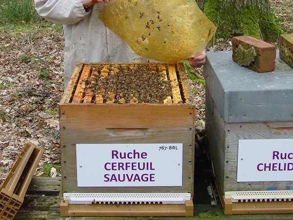 La ruche Cerfeuil sauvage
