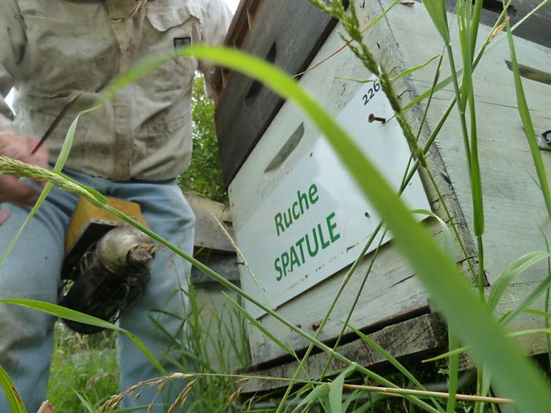 La ruche Spatule