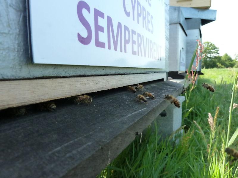 La ruche Cyprés sempervirent
