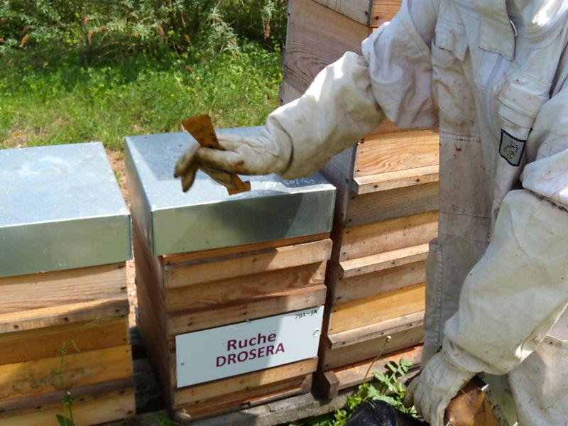 La ruche Droséra