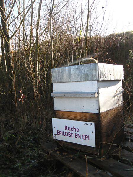 La ruche Épilobe en épi