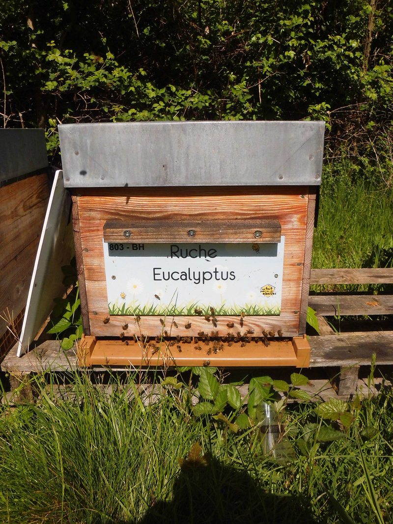 La ruche Eucalyptus