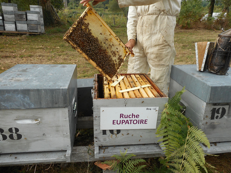 La ruche Eupatoire
