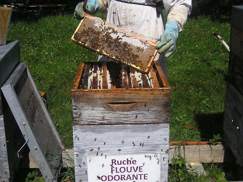 La ruche Flouve odorante