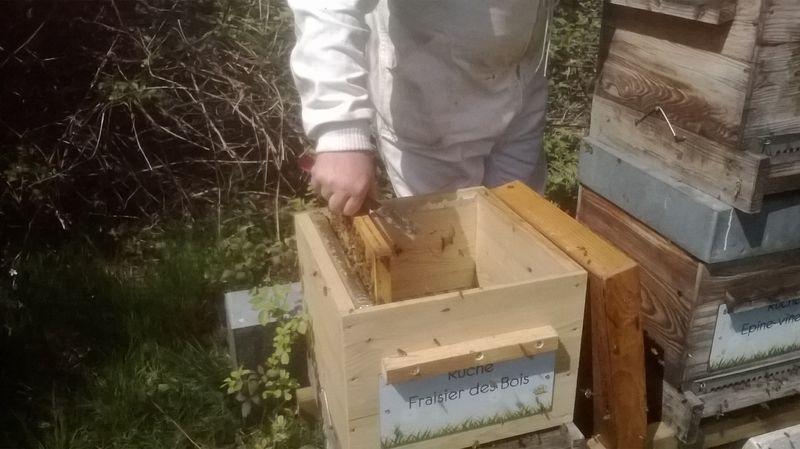 La ruche Fraisier des bois