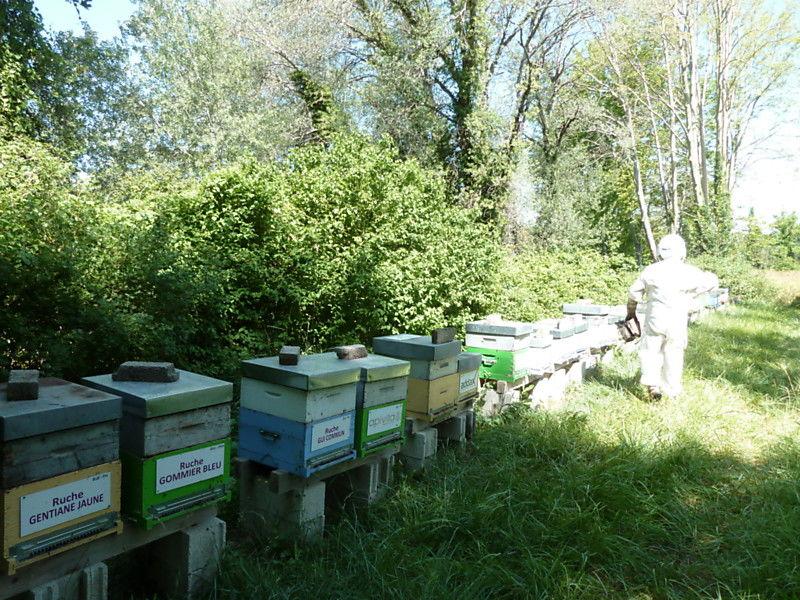 La ruche Gentiane jaune