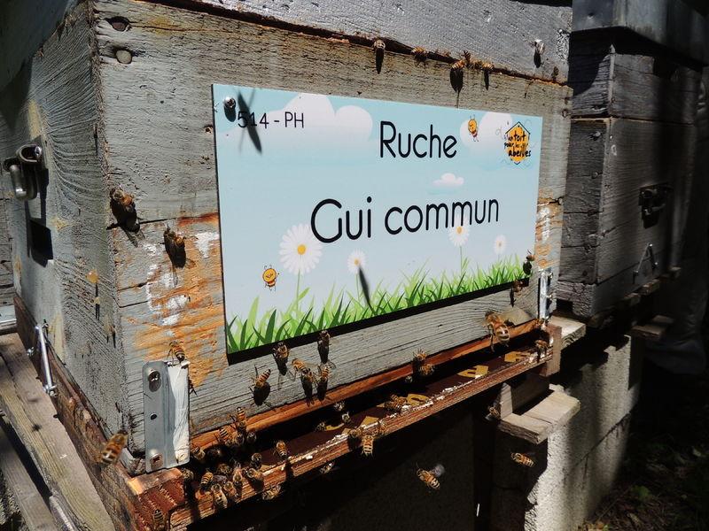 La ruche Gui commun