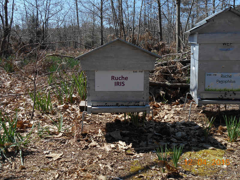 La ruche Iris