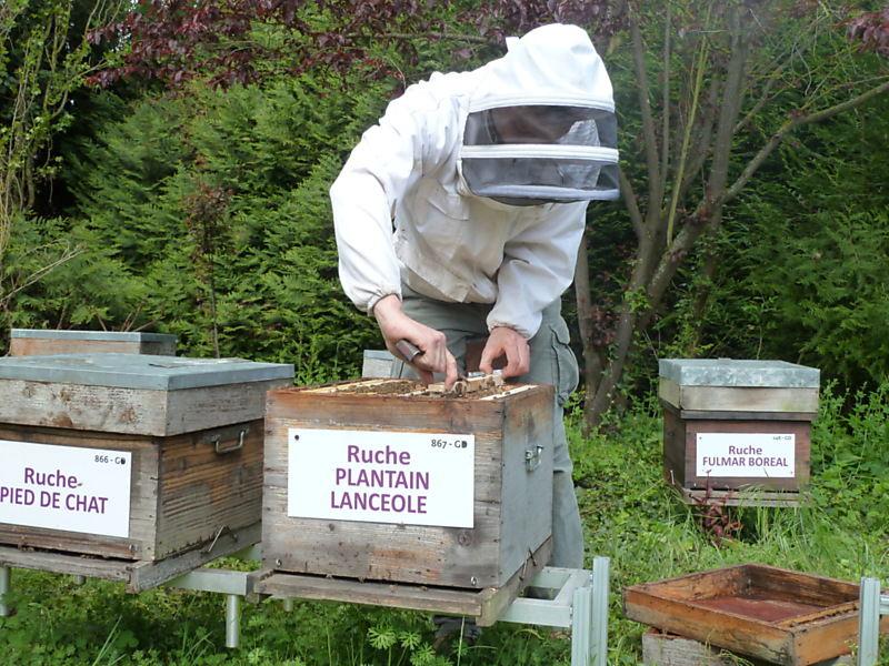 La ruche Plantain lancéole
