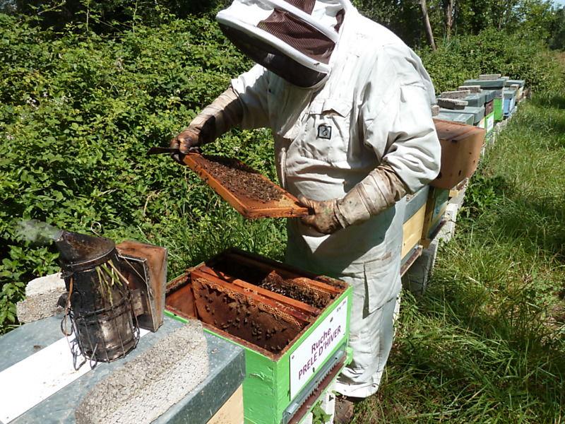La ruche Prêle d hiver