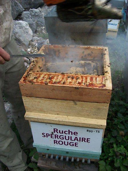 La ruche Spergulaire rouge