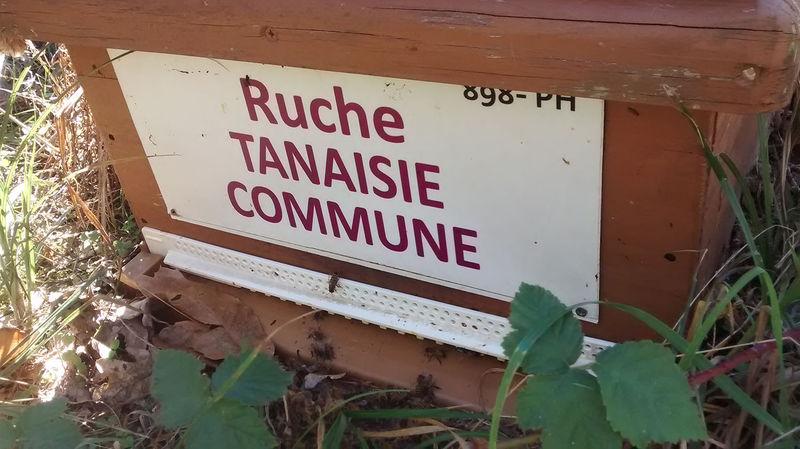 La ruche Tanaisie commune