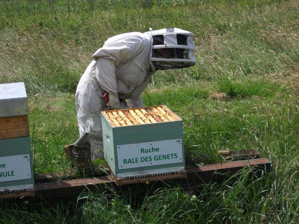 La ruche Rale des genets