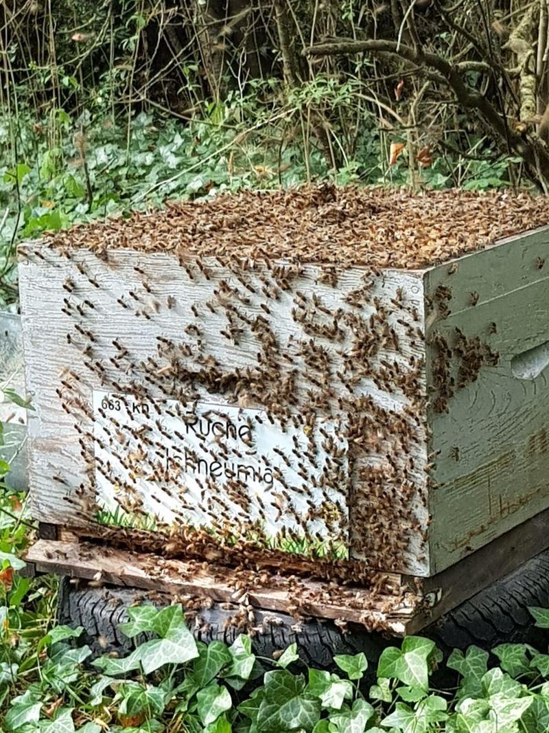 La ruche Ichneumia