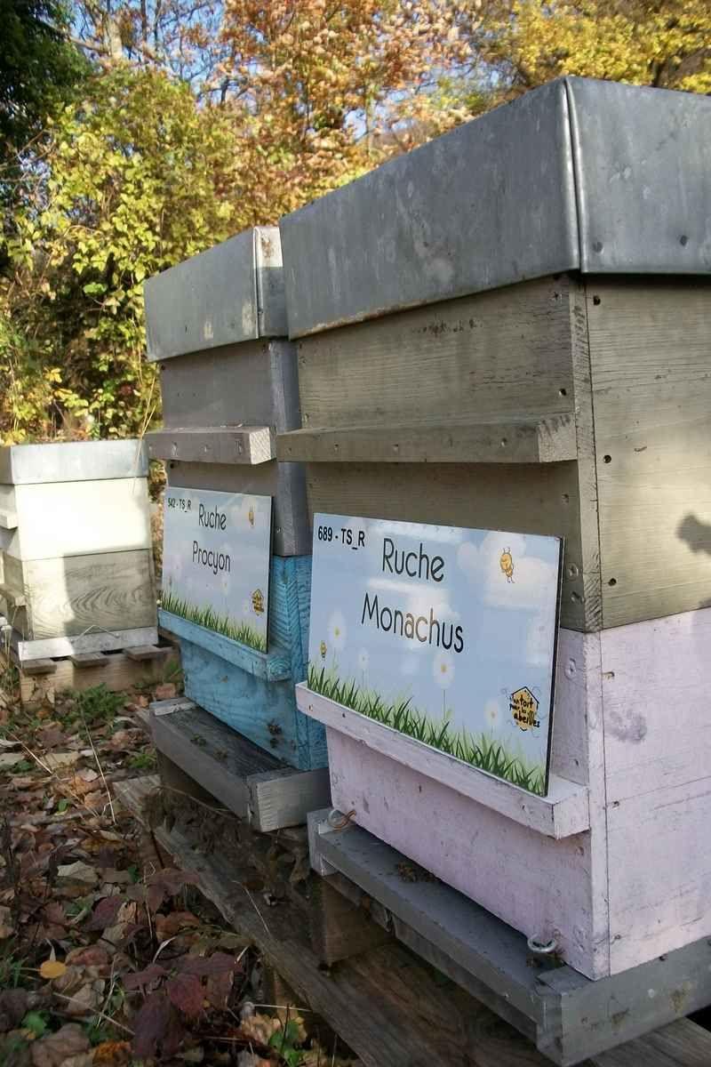 La ruche Procyon