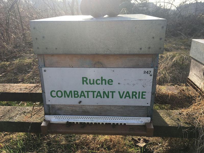 La ruche Combattant varie