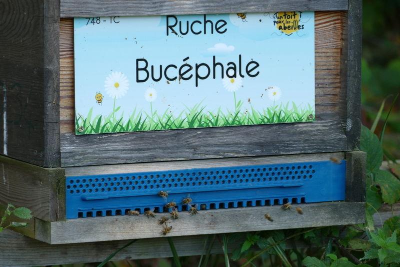 La ruche Bucéphale