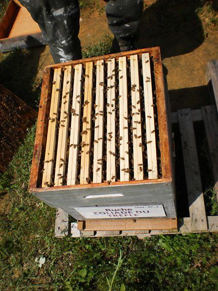 La ruche Coliade du trèfle
