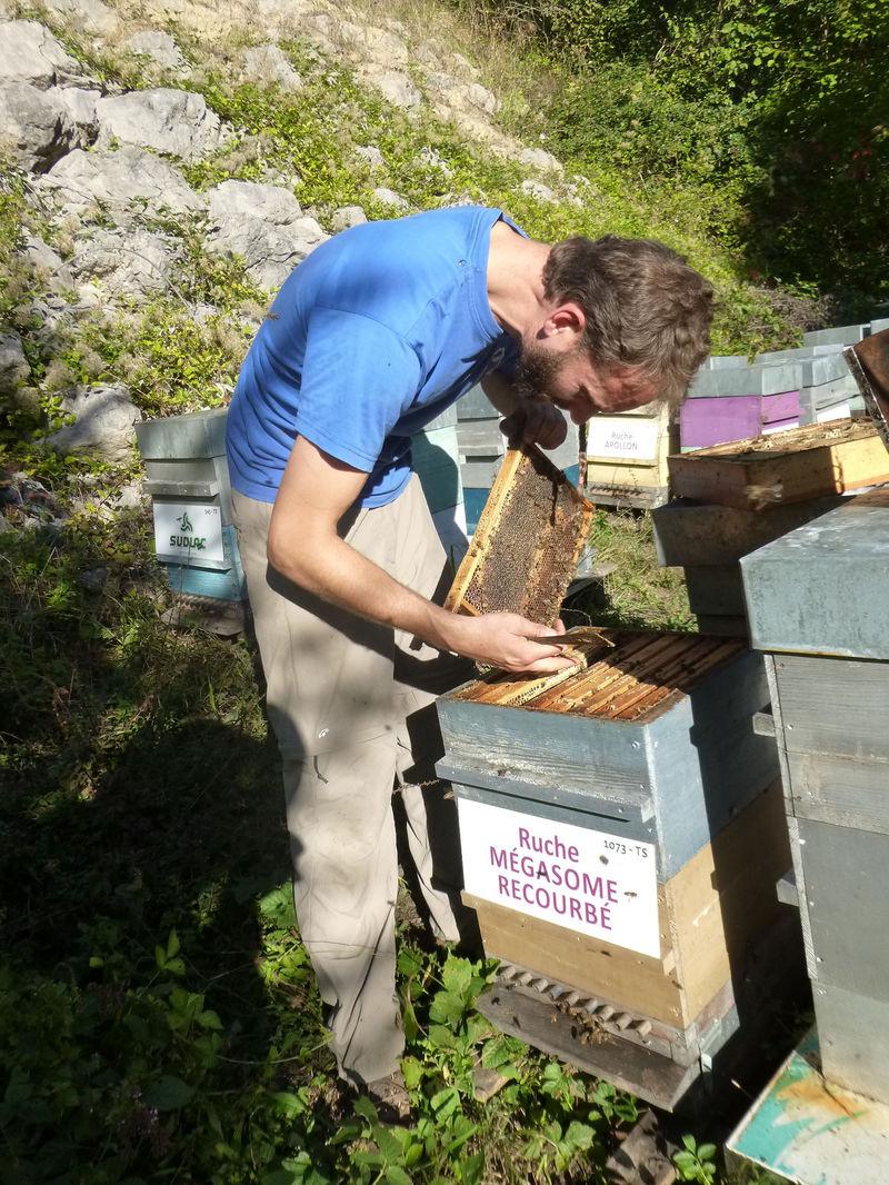 La ruche Mégasome recourbé