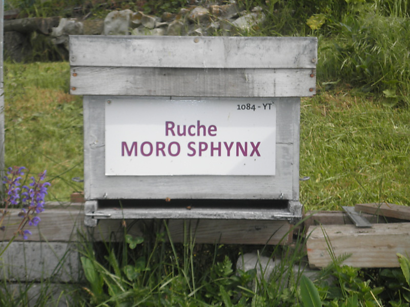 La ruche Moro sphinx