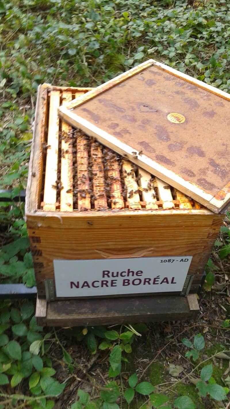 La ruche Nacre boréal