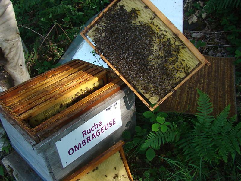 La ruche Ombrageuse