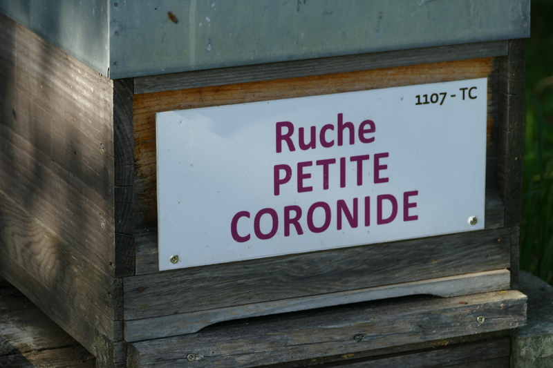 La ruche Petite coronide