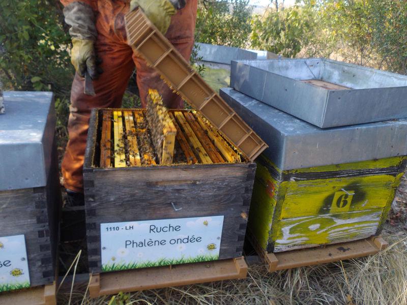 La ruche Phalène ondee