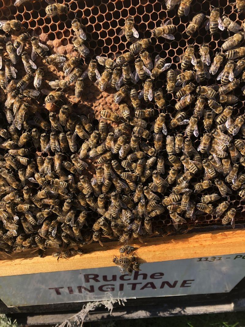 La ruche Tingitane