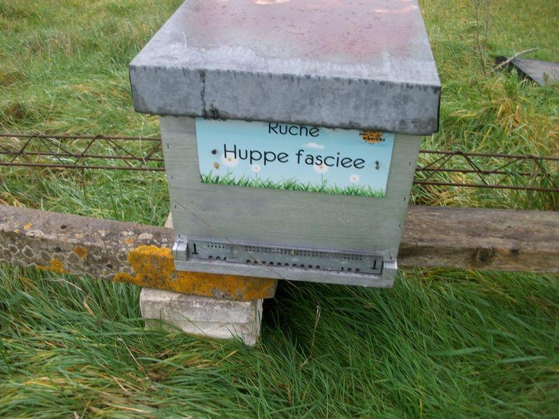 La ruche Huppe fasciee