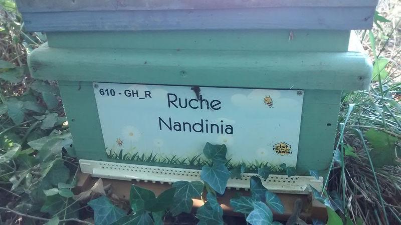 La ruche Nandinia
