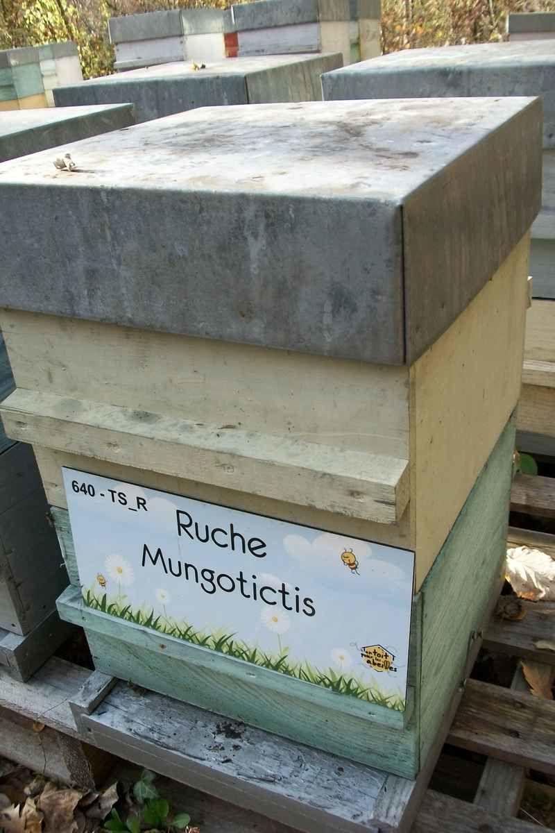 La ruche Mungotictis