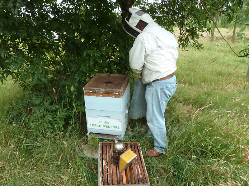 La ruche Loriot d europe