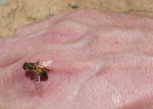 106-1-abeille-saharienne