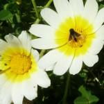 112-fleur-insectes-ahermoumou