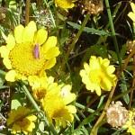 113-fleurs-insectes-ahermoumou