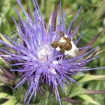 115-fleurs-insectes-ahermoumou