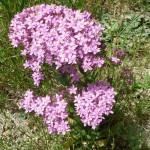 116-fleurs-insectes-ahermoumou