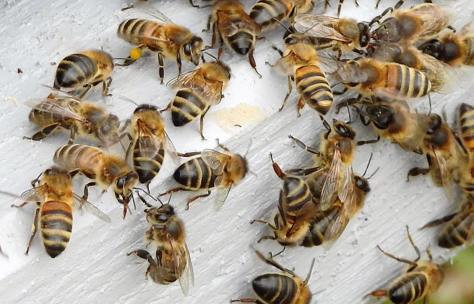 un blog pour les abeilles dscn2686. Black Bedroom Furniture Sets. Home Design Ideas